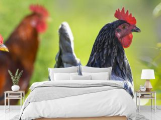 hen and rooster in the garden on a farm - free breeding