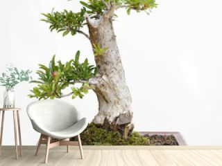 Pomegranate (punica granatum) bonsai on a wooden table and white background