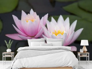 two pink lotus flowers  ( water lily )