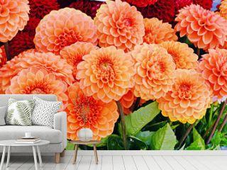 Orange dahlia flowers closeup