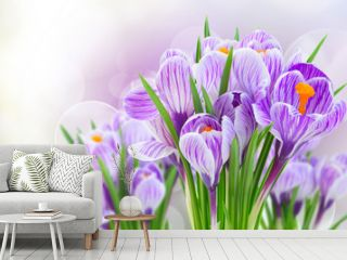 Violet crocus flowers on gray spring bokeh background banner