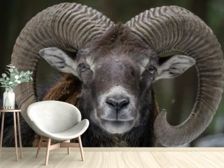Mufflon im Wald
