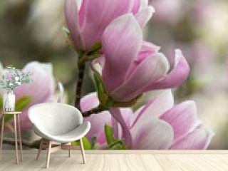 Beautiful Flourishing Pink White Magnolia Tree Branches