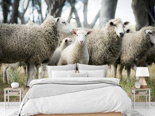 Lamb among the sheep