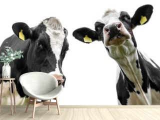 two cows isolated