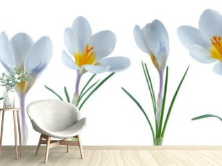 beautiful little crocus flowers in a row isolated on white can be used as background