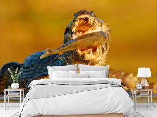 Crocodile catch fish in river water, evening lighta. Caiman with piranha.  Yacare Caiman, crocodile with fish in with open muzzle with big teeth, Pantanal, Brazil. Detail portrait of danger reptile.