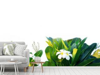 Frame of white plumeria flowers