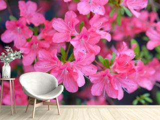 Blossoming pink azalea close up
