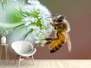 honeybee macro white flower