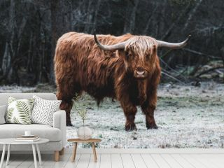 Beautiful Highland Cattle standing alone on a frozen Meadow in front of a Forest in a cold Morning