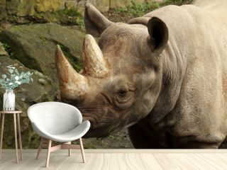 The detail of head of black rhinoceros or hook-lipped rhinoceros (Diceros bicornis)