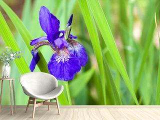 Blue Siberian iris flower closeup on green foliage background