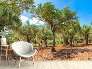Plantation agriculture of olive grove field landscape panorama