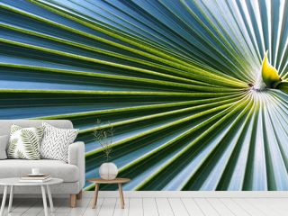 close up radial pattern and pleated stripes of palm (fan palm) leaves, abstract green texture background, selective focus