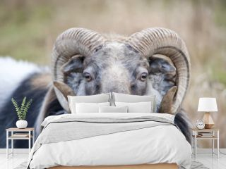 Big horny sheep