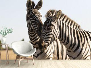 zebras walking across the savannah