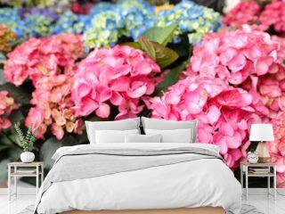 Pink hydrangea or Hydrangea macrophylla floral background.