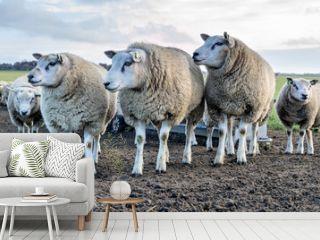 sheep at the Dutch island of Texel