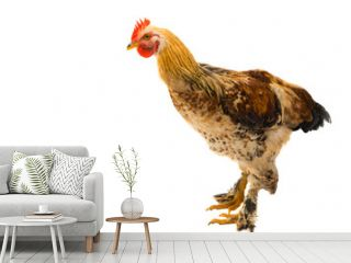 chicken isolated