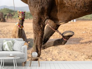 Camel with a tied foot in desert Thar during Pushkar Camel Fair, Rajasthan, India
