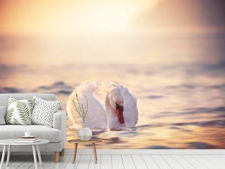 White swans in the sea,sunrise shot