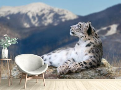 Snow leopard lay on a rock against snow mountain landscape