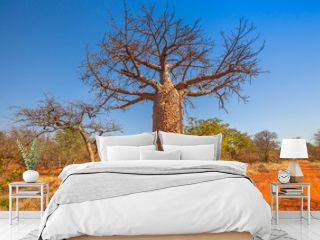 Baobab tree also known as monkey bread trees, tabaldi or bottle trees, in Musina Nature Reserve, one of the largest collections of baobabs in South Africa. Limpopo Game and Nature Reserves.