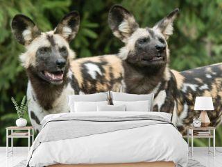 Dog hyenous outdoors.