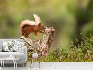Red Squirrel climbing