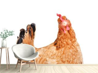 Portrait of a funny chicken, side view, isolated on white background