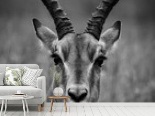 black and white impala portrait