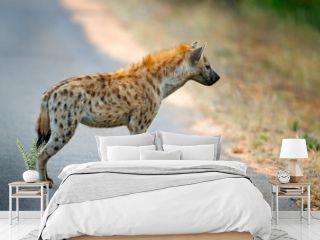 Spotted hyena, Crocuta crocuta, on the . asphalt road. Animal behaviour from nature, wildlife in Kruger National Park, Africa. Hyena in savannah habitat.