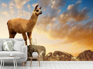 Llama (lama glama) at sunset, mammal living in the South American Andes.