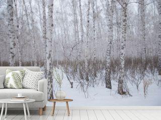 winter walk through the beautiful birch grove