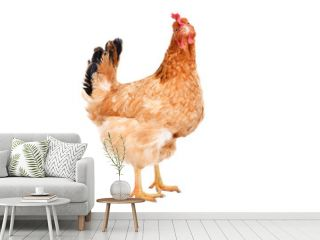 Portrait of a ginger chicken standing isolated on white background