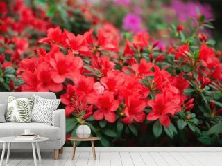 Azalea tree blooming of different colors. Flowers of azalea close up. Background full of flower. Rhododendron tree  in springtime.