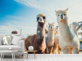 Group of cute alpacas in outside looking