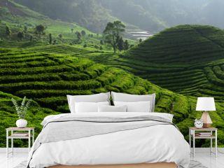 Tea Field Plantation