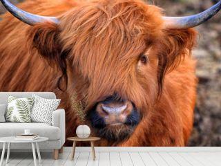 Scottish Highland Cow, Highlander, Scotland