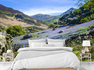 A view of the Rannerdale valley with the spring display of blue bells climbing the hillside and famed for growing out in the open rather that in woodland shade. Showing the stone wall and the gate