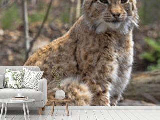The Scandinavian lynx, Lynx lynx lynx, sitting and watching around