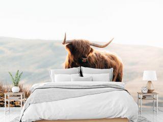 Highland Cow in Isle of Skye, Scotland.