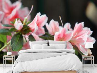 Delightful pink and white azalea flowers.