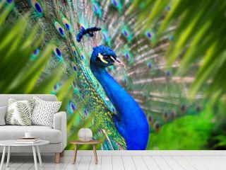 Peacock portrait in jungle