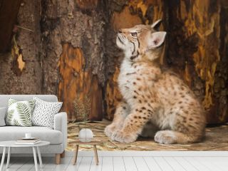vigorous little lynx kitten looks boldly and prepares to jump.