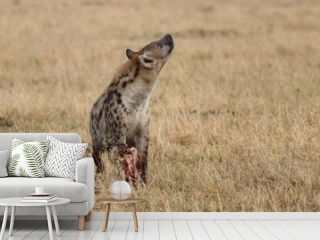 Spotted hyena (crocuta crocuta) feeding on a scapula and looking up, Masai Mara National Park, Kenya.