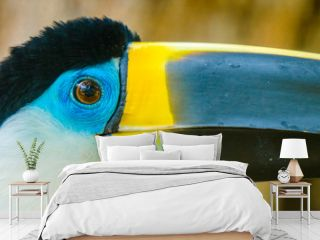 Beautiful toucan with blue eyes and yellow peak