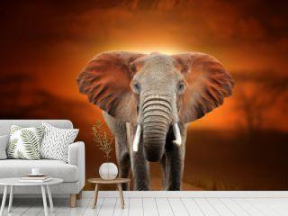 Elephant on savanna landscape background and Mount Kilimanjaro at sunset