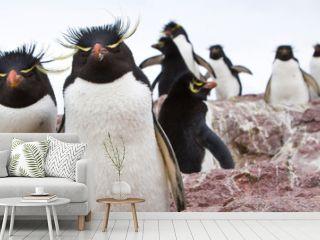 Pingüino de Penacho Amarillo (Eudyptes chrysocome), Isla Pingüino, Puerto Deseado, Patagonia, Argentina